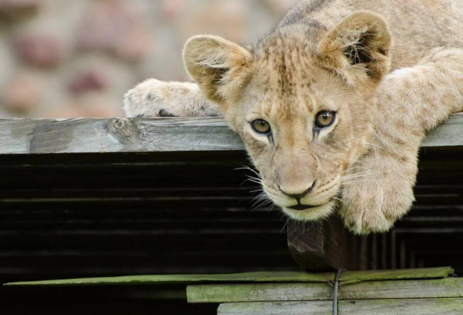 成長したライオン